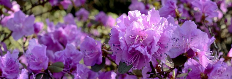 rhododendron-2146967_960_720