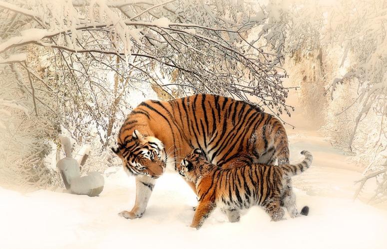 tiger-591359_960_720